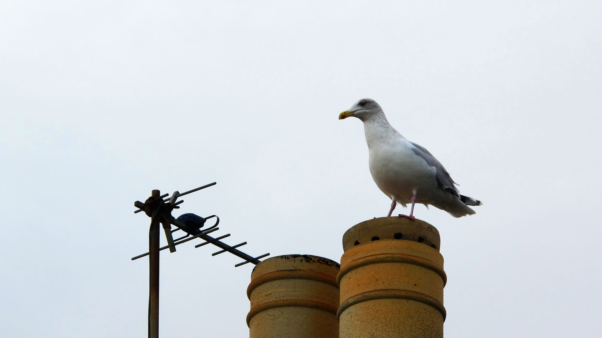 fittie gull chimney sentry