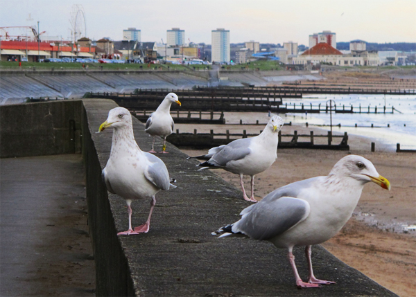 Gang of gulls on the sea wall at fittie