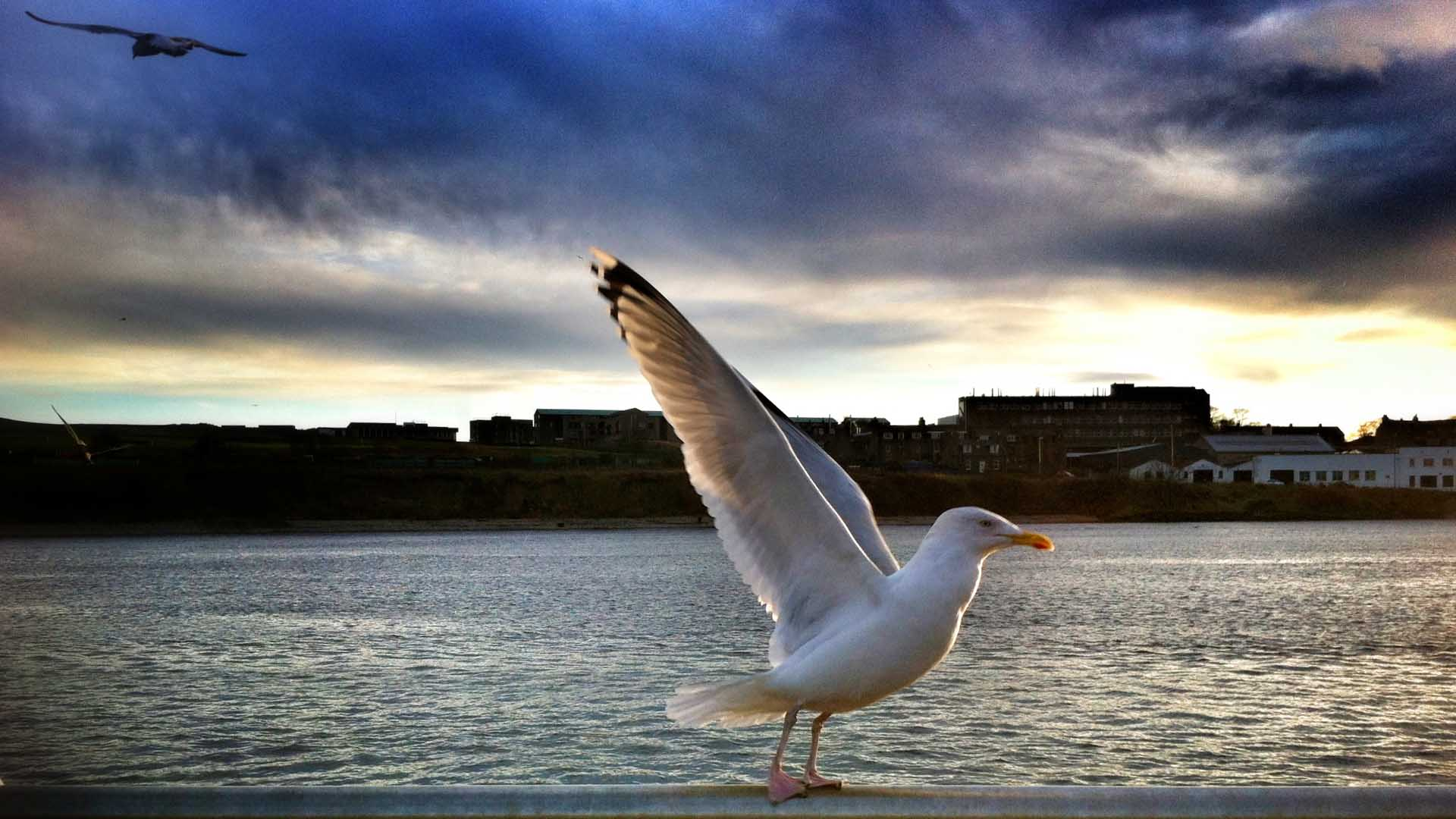aberdeen harbour herring gull