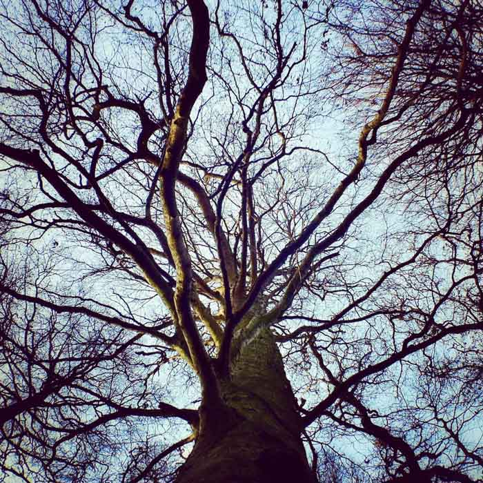 Looking up at the brances of an old tree