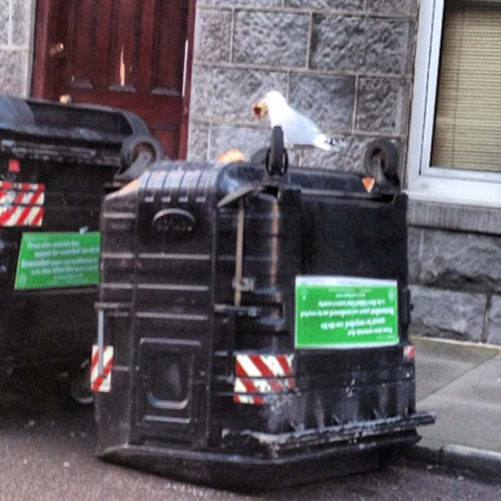 Gull eats pizza atop an overturned bin