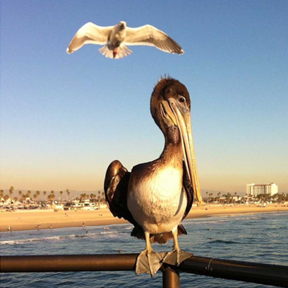 pelican and gull by tempster