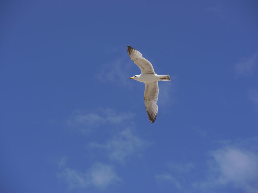 A gull wheels overhead