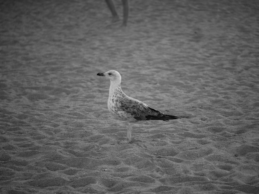 Young gull on the beach